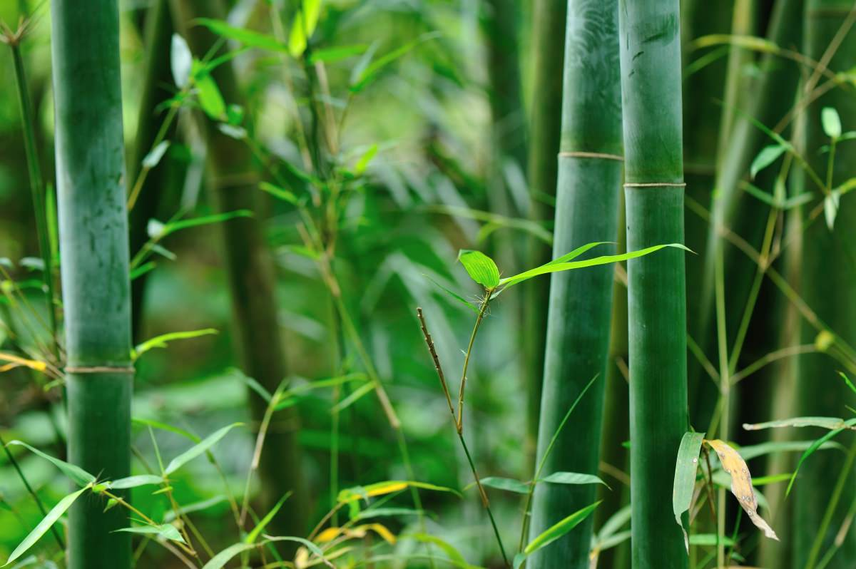 My-Happy-Footprint-CO2-compensation-through-bamboo-plants